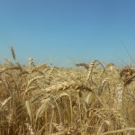 Bilanț: Producții neașteptate la orz, rapiță și grâu